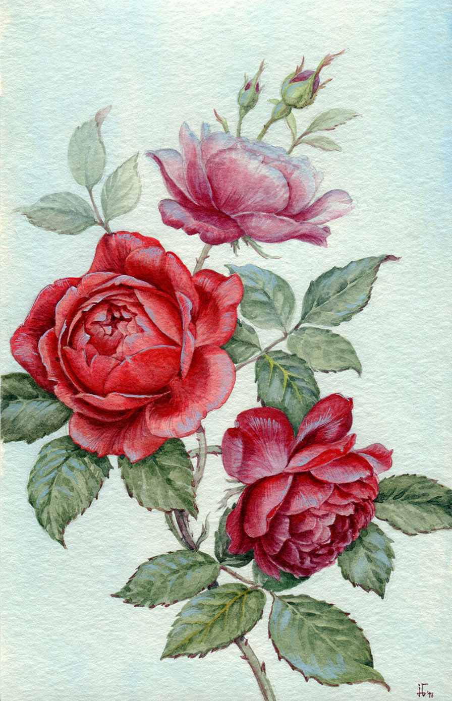 water colour - botanical illustration - roses