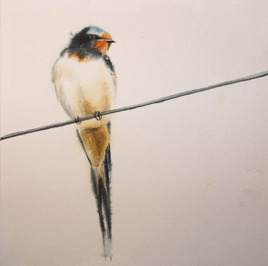 water colour - illustration - barn swallow
