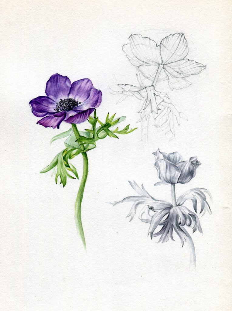 Aquarell - botanische Illustration - Anemone