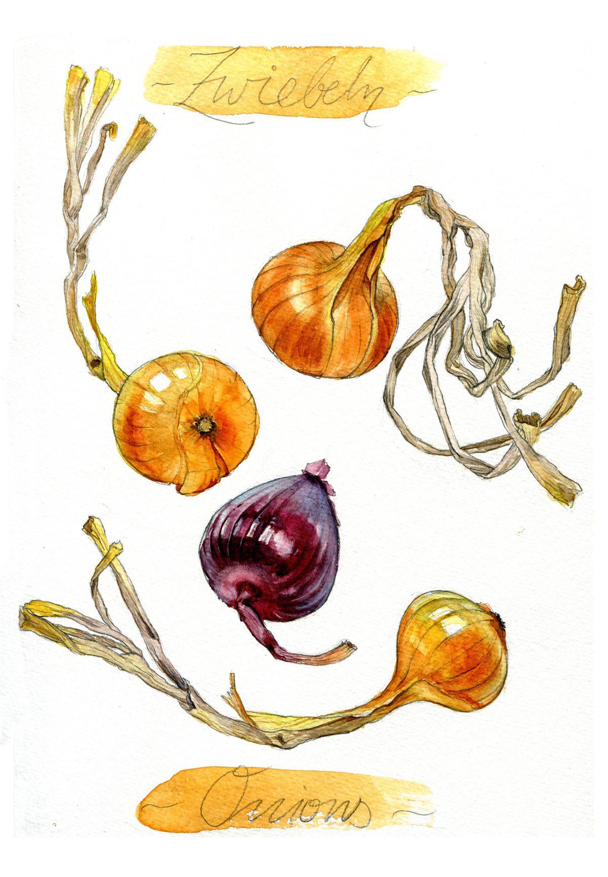 Zwiebeln, Aquarell, food illustration