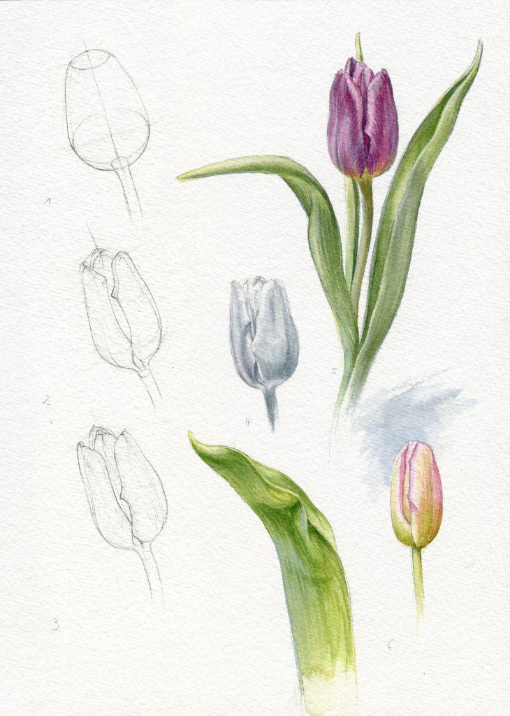 Arbeitsschritte Aquarell, Tulpe, Untermalung