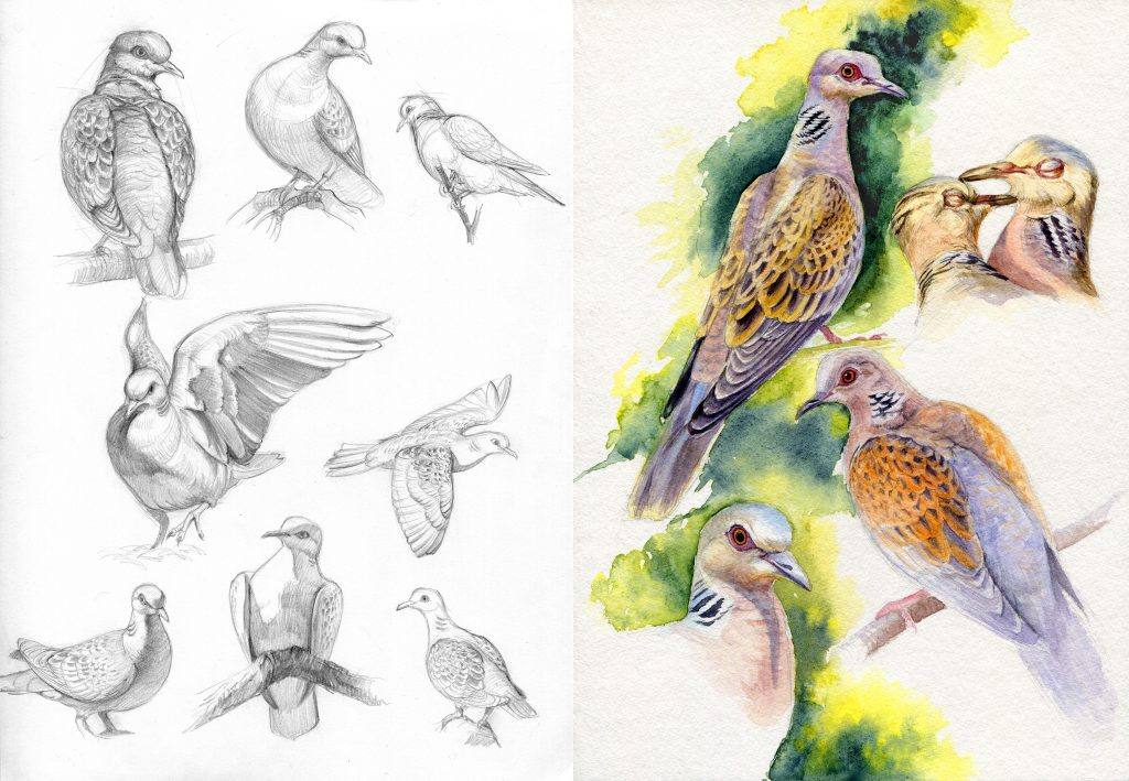 Turtle Doves - water colour