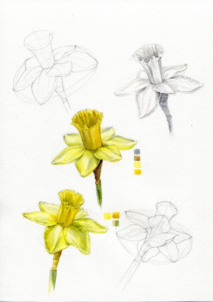 Arbeitsblatt Narzisse, gelbe Blumen, Konstruktion, Untermalung