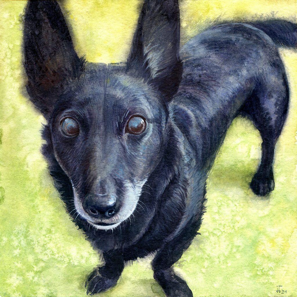 water colour - illustration - dog - favorite pet - animal portrait - Corgidor - black dog